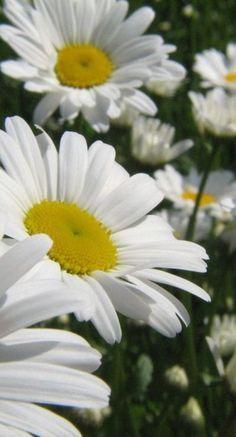 Daisies-Mom's favorite flowers