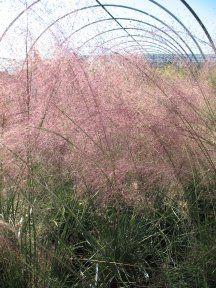 Muhlenbergia capillaris. Pink Muhly Grass.