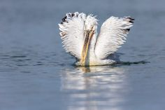 Photographing Dalmatian pelicans at Lake Kerkini in Greece. Februari is the start of their breeding season an then they show their beautiful feathers and beak colours. Dalmatian, Feathers, Greece, Nature Photography, Colours, Beautiful, Greece Country, Nature Pictures, Wildlife Photography
