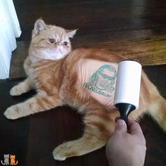 Confession Friday: We were actually Paid to adopt Pumpkin. Today we found out why while lint rolling him.  His beautiful orange mane hides a Nickelback - Chad Kroeger tattoo.  We had noticed Pumpkin enjoyed making gutteral throaty meows. We just thought he had a bad hairball.  #nickelback #tattoo #lol #chadkroeger #weactuallylovecanadians #exoticshorthair #cat #cute #flatface #kitten #meow #pet #mreggs #catlover #exoticsofinstagram #smushface