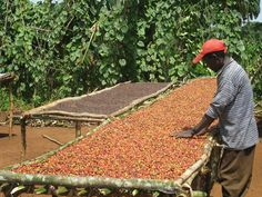 African coffee farmer with his coffee crop on a drying bed