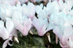 glamorous cyclamen Like Facebook, Pastel, Makeup, Flowers, Plants, How To Make, Maquillaje, Pie, Face Makeup