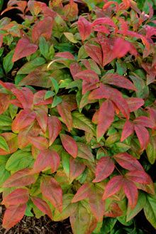 "Nandina Shrubs ""Fire Power""   Turns flaming red in the winter!"