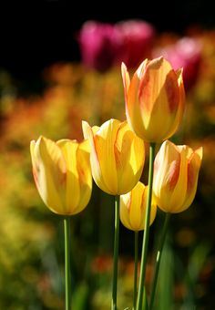 It's so hard to pass by tulips and not be tempted to snap one off & take it… Yellow Tulips, Tulips Flowers, May Flowers, Types Of Flowers, Daffodils, Fresh Flowers, Spring Flowers, Beautiful Flowers, Tulips Garden