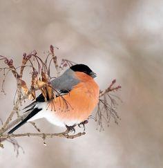 magicalnaturetour: Bullfinch by David Brozek :) Small Birds, Colorful Birds, Pretty Birds, Beautiful Birds, Fat Bird, Bullfinch, British Wildlife, Kinds Of Birds, Merry Christmas Everyone