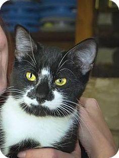 House Springs, MO - Domestic Shorthair. Meet Little Maude, a cat for adoption. http://www.adoptapet.com/pet/11849441-house-springs-missouri-cat