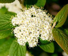 Klehm's Song Sparrow Farm and Nursery--Woody Plants--Viburnum x 'Summer Reflection'