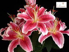 LAS MEJORES FLORES A DOMICILIO. En Lilium nos encargamos de complementar nuestros arreglos con la belleza y el misticismo de las Lilis o lirios, hermosas y aromáticas flores provenientes de Europa y Asia, que gracias a su colorido, dan vida a cualquier espacio. Conozca nuestros diseños con lirios, ingresando a nuestra página de internet www.lilium.mx