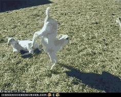 funny-animal-gifs-animal-gifs-goatstand