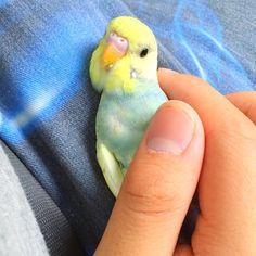 Cuddly baby parakeet on Istagram Funny Birds, Cute Birds, Pretty Birds, Beautiful Birds, Animals And Pets, Baby Animals, Funny Animals, Cute Animals, Wild Animals
