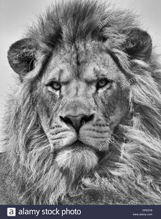Image result for lion and lamb tattoo
