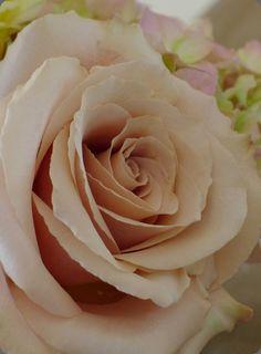 quicksand rose for petals on the aisle Wedding Cake Roses, Dusty Rose Wedding, Floral Wedding, Wedding Flowers, Green Wedding, Wedding Show, Spring Wedding, Fleur Orange, Rose Varieties