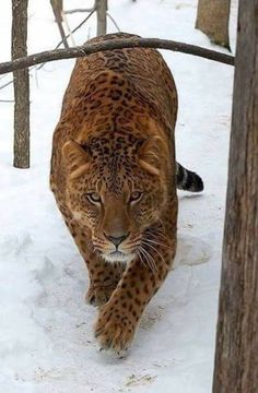 A Jagalion. Male jaguar and female lion - lions. - A Jagalion. Male jaguar and female lion – lions. Big Cats, Cool Cats, Cats And Kittens, Siamese Cats, Nature Animals, Animals And Pets, Cute Animals, Wild Animals, Baby Animals