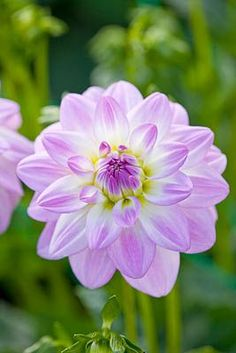 Dahlia Twilight Time