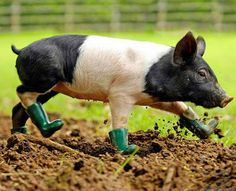 Pig in Boots! i swear i will have a baby pig! Pig Wallpaper, Animal Wallpaper, Wallpaper Gallery, Farm Animals, Funny Animals, Cute Animals, Funny Pig Pictures, Photo Humour, Funny Pigs