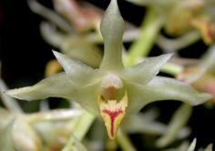 Orchid: Xylobium elongatum