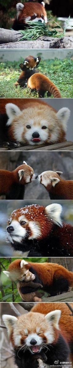 Just a year in the life of a red panda? Eating, sleeping, playing, breeding, taking care of cubs in the summer, keeping warm in the winter...