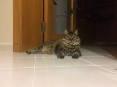 #norvegiancat #princess #mylovelycat #cats #catlovers