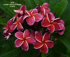 Gina: It's a challenge to name such a striking plumeria. Strong, semi-compact to medium grower.