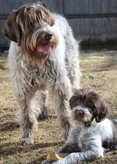 The Wirehaired Pointing Griffon, also known as Korthals griffon, is a very rare breed, but it has seemingly endless talents. Wirehaired Pointing Griffon, Griffon Dog, Pointer Puppies, Pointer Dog, Pet Dogs, Dogs And Puppies, Dog Cat, Pets, Labrador Puppies