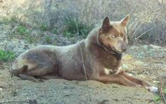 American Indian dog breed, has long and shorter coats, lots of colors, and hypoallergenic