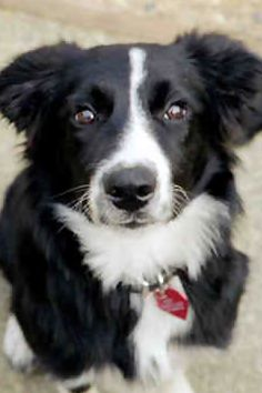 I think Piper may be a border collie mix...she has less white, and has a more black/brindle coat, but this looks just like her!