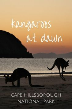 Kangaroos at Dawn - Cape Hillsborough - This Wild Life of Mine Wildlife Tourism, Big Country, Coast Australia, Australian Animals, Kangaroos, Destin Beach, Mammals, Dawn, Places To Go