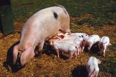 How to Breed Sows After Farrowing | eHow