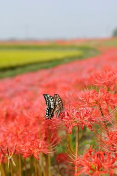 20090926 Yakachigawa 10 (Swallowtail) (by BONGURI)