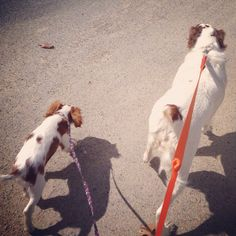 Sisters out together today #spaniels #sandypaws #dogwalker
