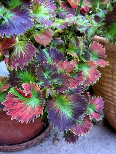 autumn coleus | coleus tilt a whirl this coleus sported various coloration on it s ...