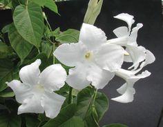 Chilean Jasmine