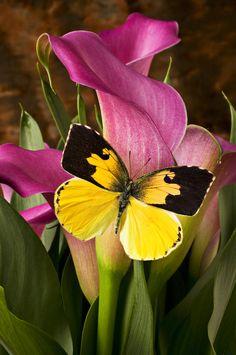 ༺ ʚįɞ Beautiful ༻ :: Dogface Butterfly On Pink Calla Lily - Fine Art Print by Garry Gay