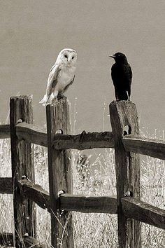 the Owl and the Crow ~ Amazing creatures! Unfortunately used by witchcraft and such, which has put a negative light, by so many well-meaning Christians, on these Special and Beautiful birds! The Crow, Beautiful Owl, Animals Beautiful, Cute Animals, Crows Ravens, Tier Fotos, Wow Art, Kraken, Nocturne
