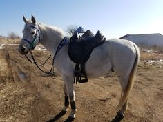 This adorable grey Arabian with his Barefoot Cheyenne Treeless Saddle competes in endurance!