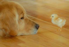 Our beloved Flip and the new chickee! #Dog #Chick #Ranch
