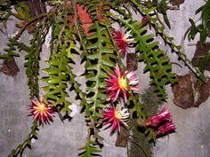 Farmerly Cereus cactus mezcla rara de la noche del jard/ín de cactus ex/ótico desierto suculenta de semilla de 100 semillas