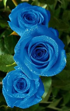 Flowers are God 's Way of Smiling Beautiful Rose Flowers, Love Rose, Amazing Flowers, Blue Flowers, Blue Roses Wallpaper, Flower Wallpaper, My Flower, Flower Power, Rose Pictures