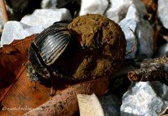 Photo of the Week: Feb 18th 2014. Dung Beetles in Spain