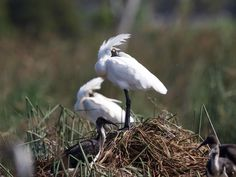 Spoonbills (Platalea regia) share the nesting site with ibis (Threskiornis spinicollis) in East Gippsland, Australia. ©John Hutchison
