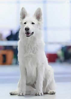 White shepherd 60 to 85 pounds europe 23 to 25 inches 12 to 14 years white White Shepherd, West Highland Terrier, Baby Puppies, Dogs And Puppies, Doggies, German Shepherd Puppies, German Shepherds, Young Animal, She Wolf