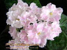 ☘ RS-IZBRANNAYA ☘ CHOSEN ONE ☘ African Violet Plant Saintpaulia ☘ Plug Ukrainian