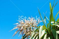Ti Kouka (Cordyline australis) in Flower Royalty Free Stock Photo Abel Tasman National Park, New Zealand Landscape, Tree Images, Kiwiana, Fresh Image, Native Plants, Flower Photos, Image Now, Cabbage