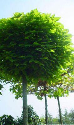 De cultivar Catalpa bignonioides 'Nana' heet in het Nederlands boltrompetboom.