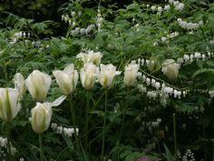 Spring Green Tulpen