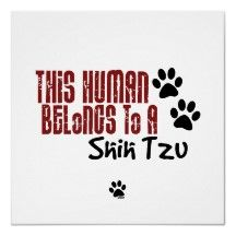 This Human Belongs to a Shih Tzu Or two...or three....