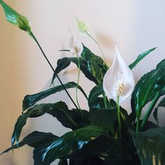 Did you know peace lillies absorb ambient humidity? So handy in here   #peacelilly #instaplant #plantnerd #planthoarder #houseplants #ihavethisthingwithplants