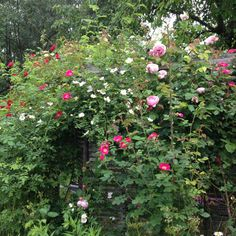 Multi rose bush and bower