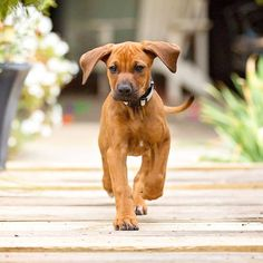 Run ridgey run. Those ears  . .. .. #rhodesianridgeback #rhodesianridgebackpuppy #rhodesianridgebackofinstagram #rhodesianridgebacklove…