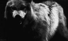 wolf gif - Cerca con Google